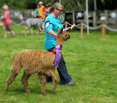 Meet Dixie at Chipperfield Alpacas, with her champion sash. One of Chipperfield alpacas coloured suri alpacas