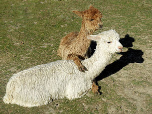 Falcon and Hihi, from Chipperfield Alpacas.