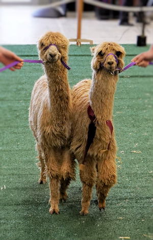 Chipperfield Alpacas, Summer and Moonshine.  Two of Chipperfield alpacas coloured suri alpacas