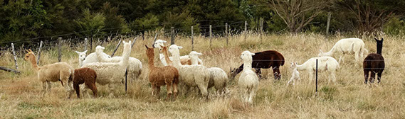 chipperfield (chips) female alpacas munching on grass